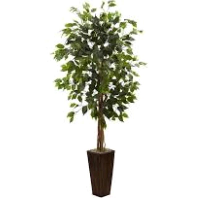Where to find TREE, FICUS - in Tulsa